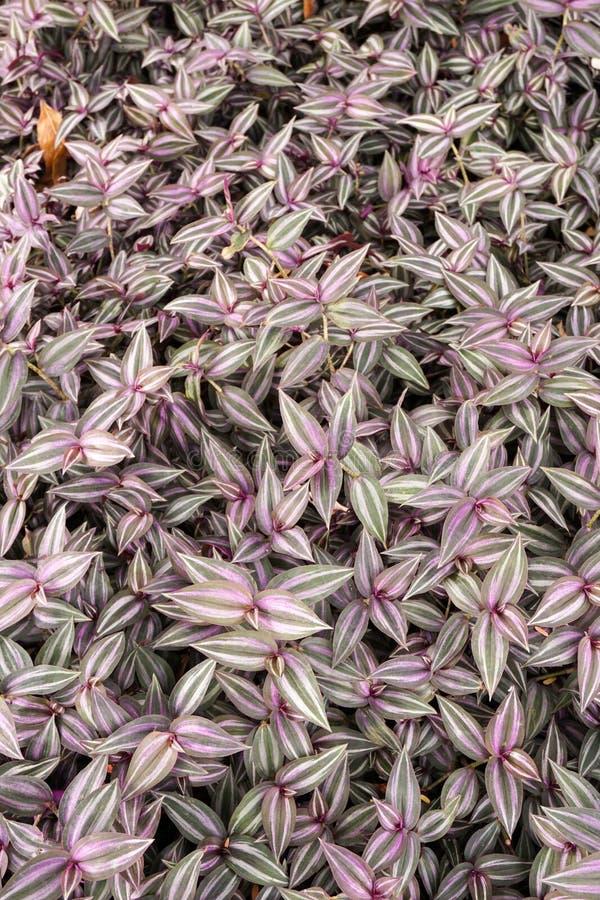Planta do zebrina do Tradescantia fotos de stock royalty free