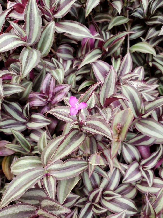 planta do zebrina do tradescantia em um jardim, em um fundo e em uma textura fotos de stock