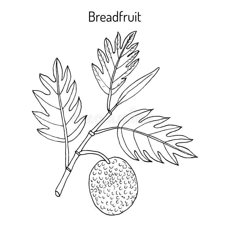 Planta dos altilis de Artocarpus das frutas-pão, a comestível e a medicinal ilustração do vetor