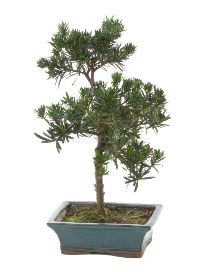 Planta dos bonsais imagem de stock royalty free
