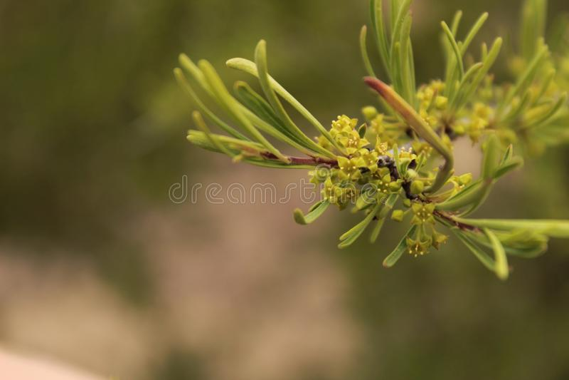 Planta dos cyparissias do eufórbio imagem de stock royalty free
