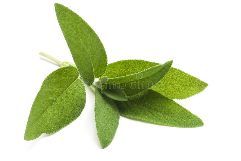Planta dos officinalis do salvia do sábio comum isolada fotografia de stock
