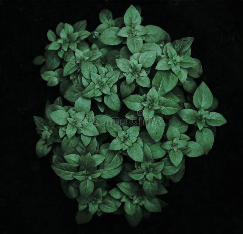 Planta dos oréganos foto de stock