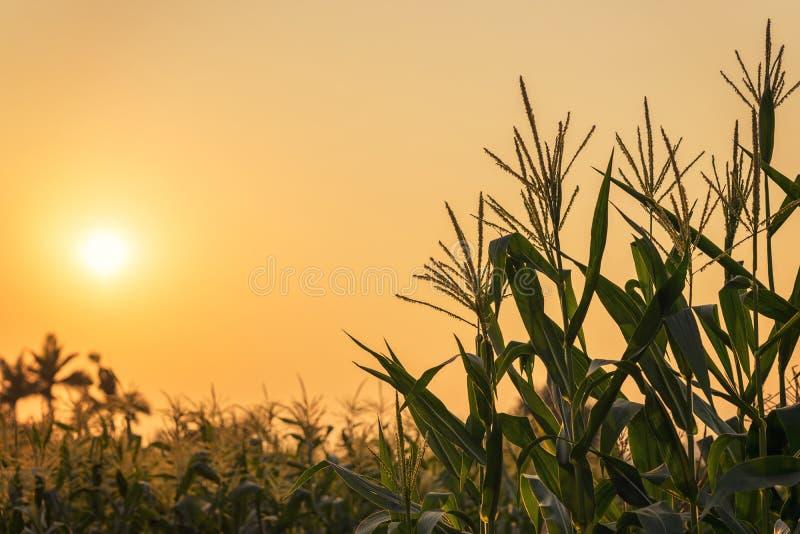 Planta e por do sol de milho no campo fotografia de stock royalty free