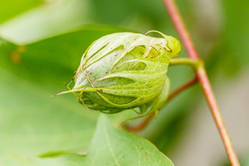 Planta e semente de algodão cru imagem de stock royalty free
