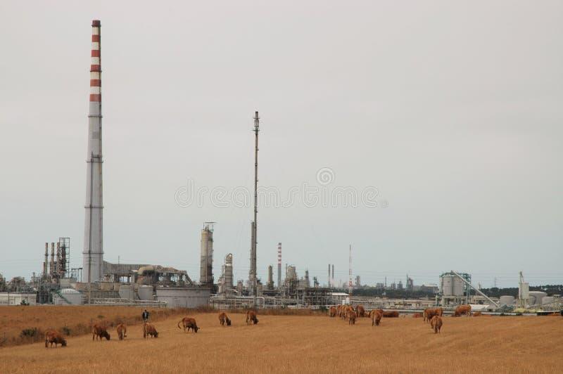 Planta e vacas de óleo fotografia de stock