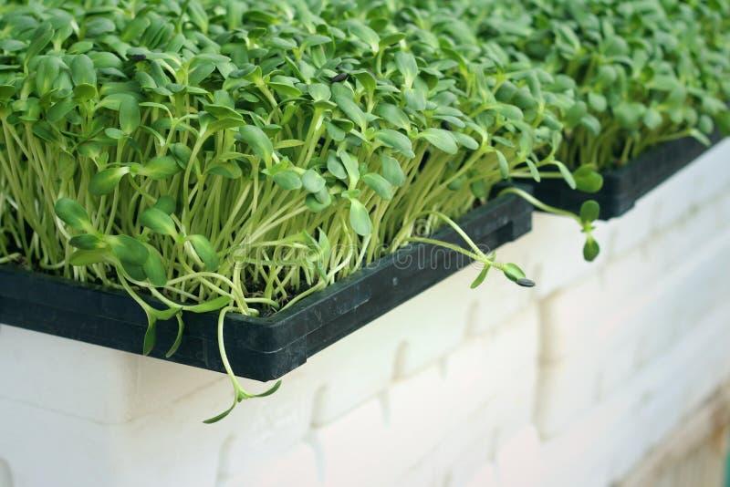 Planta el girasol débil con la naturaleza en un jardín imagen de archivo libre de regalías