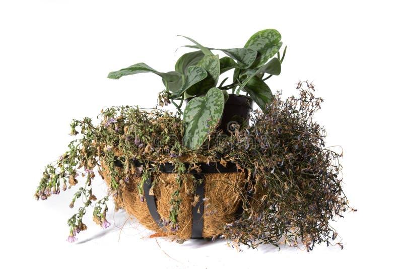Planta em pasta da planta da casa isolada no branco fotos de stock royalty free