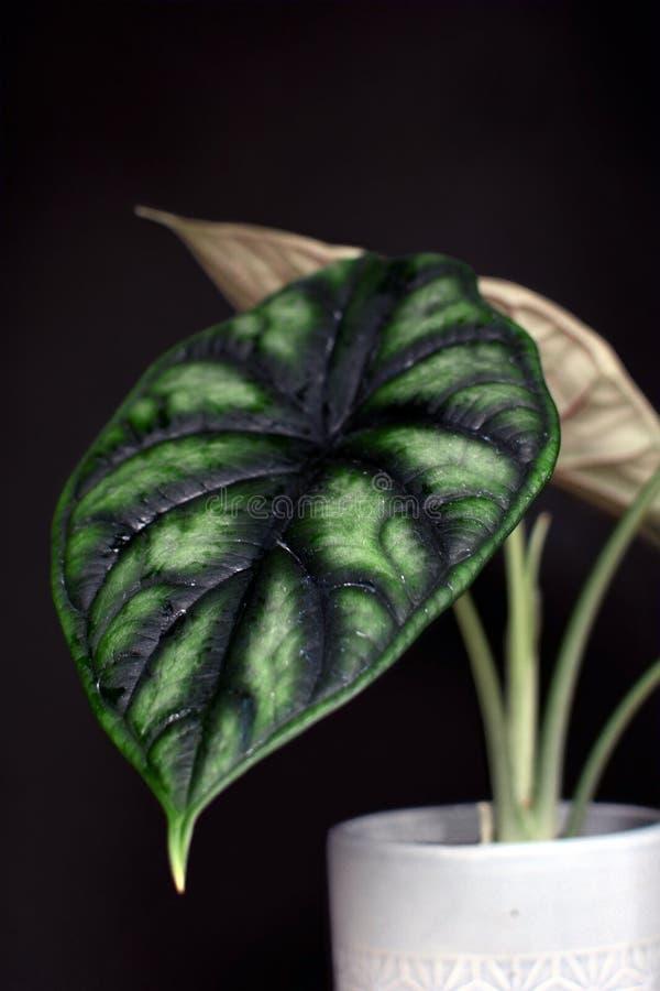 Planta em pasta exótica da casa de Baginda Cuprea Dragon Scale do Alocasia no fundo preto escuro imagem de stock royalty free