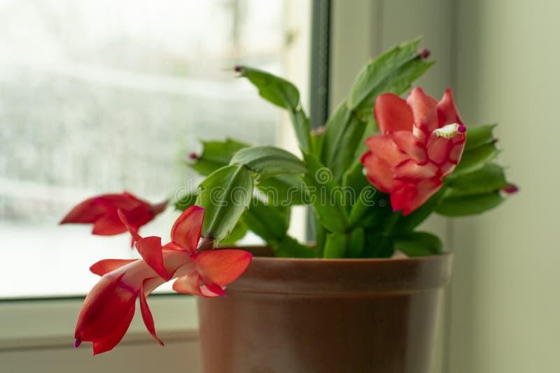 Planta em pasta pequena, flor de Schlumberger com botões vermelhos imagem de stock royalty free