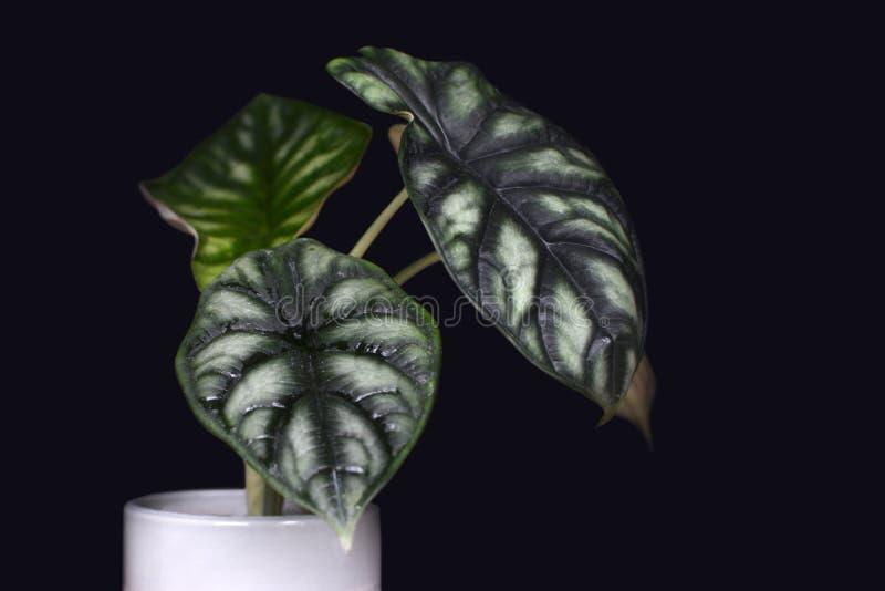 Planta em pasta tropical exótica da casa de Baginda Cuprea Dragon Scale do Alocasia no fundo preto escuro ilustração do vetor