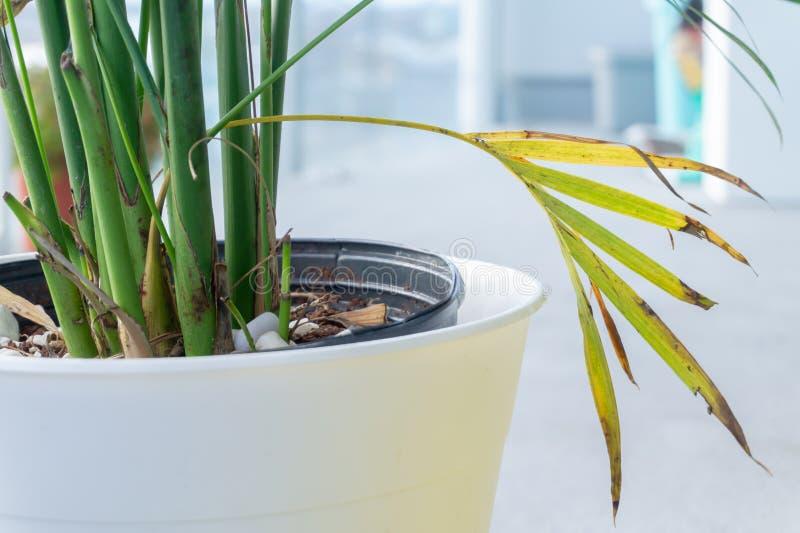 Planta en conserva con las hojas de muerte que cuelgan hacia fuera Troncos verdes, al aire libre en luz del d?a foto de archivo