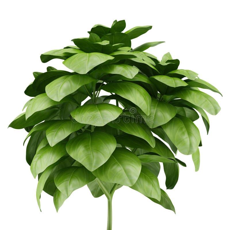 Planta en conserva de la albahaca aislada en blanco ilustración del vector