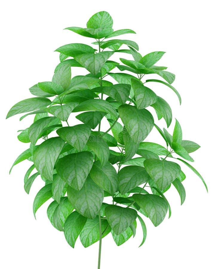 Planta en conserva de la menta aislada en blanco ilustración del vector
