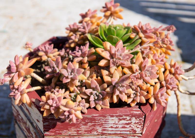 Planta en conserva del echeveria suculento rojo imagenes de archivo