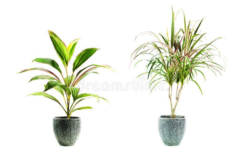 Planta en conserva verde, árboles en el pote aislado en blanco foto de archivo