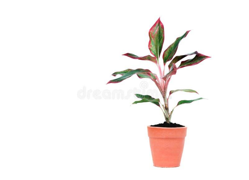 Planta en conserva verde, árboles en el pote del cemento aislado en los vagos blancos fotografía de archivo