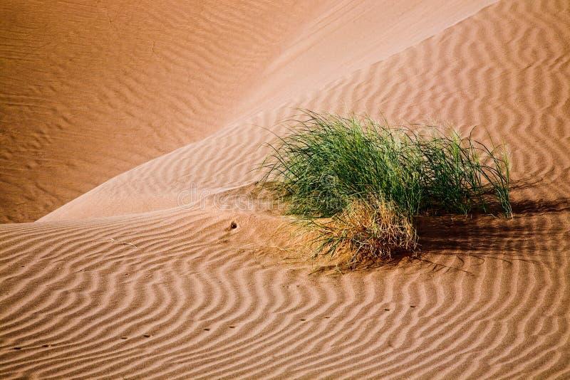 Planta en dunas de arena imagen de archivo