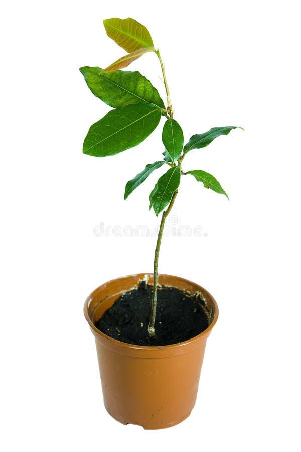 Planta en el crisol aislado sobre blanco fotografía de archivo libre de regalías