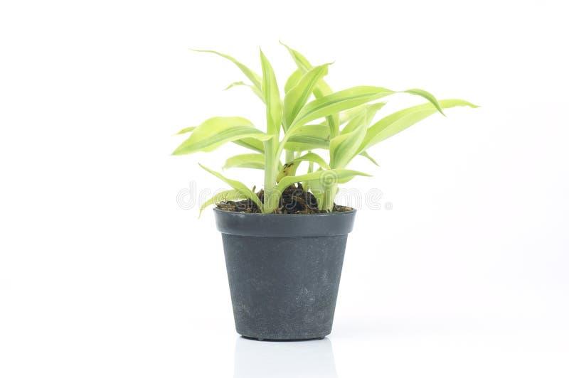 planta en el pote negro aislado fotografía de archivo