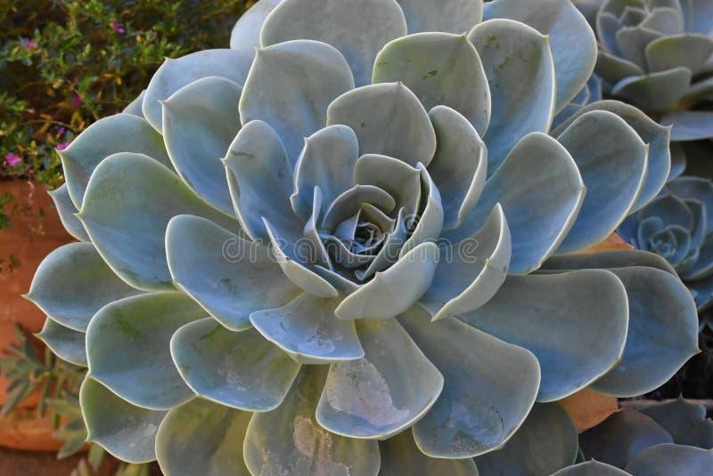 Planta en flor en jardín Bola mexicana de la nieve, gema mexicana, rosa mexicana blanca Planta suculenta en un jardín del desiert fotografía de archivo libre de regalías