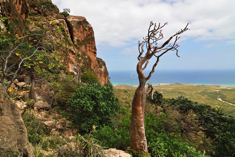Planta endêmico da ilha de Socotra, Iémen, África foto de stock royalty free