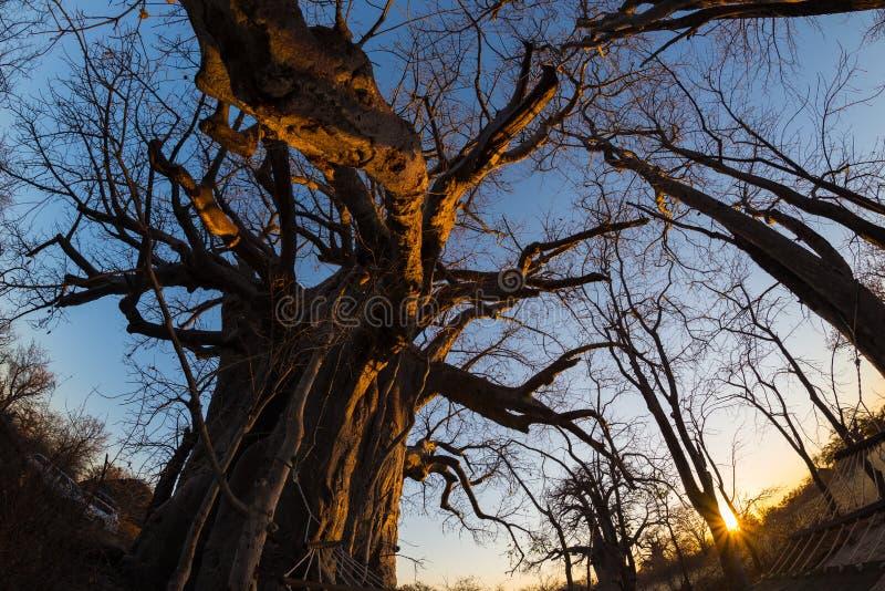 A planta enorme do Baobab no savana africano com o céu azul claro e o sol star no por do sol Opinião de Fisheye de baixo de Botsw imagem de stock