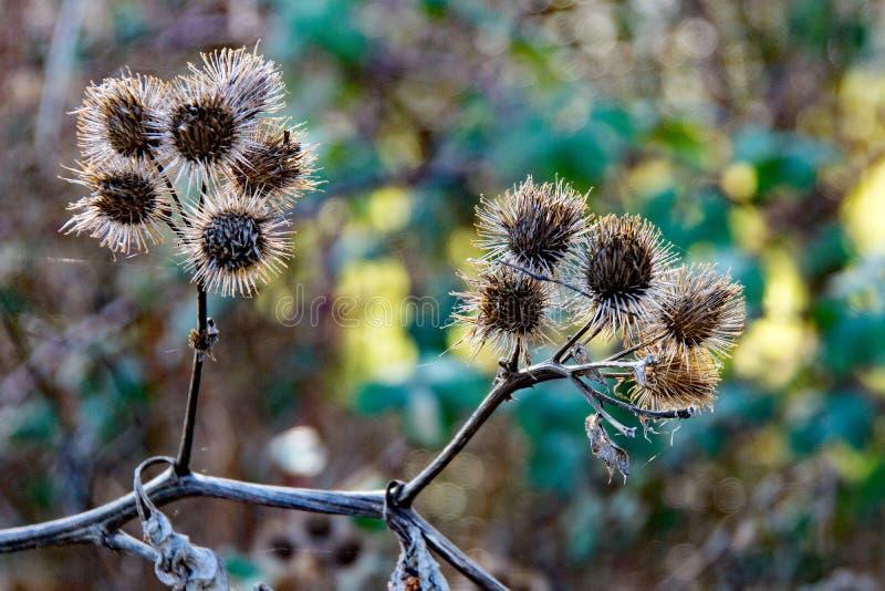 A planta espinhosa de Herb Burdock ou planta do Arctium da família do Asteraceae foto de stock