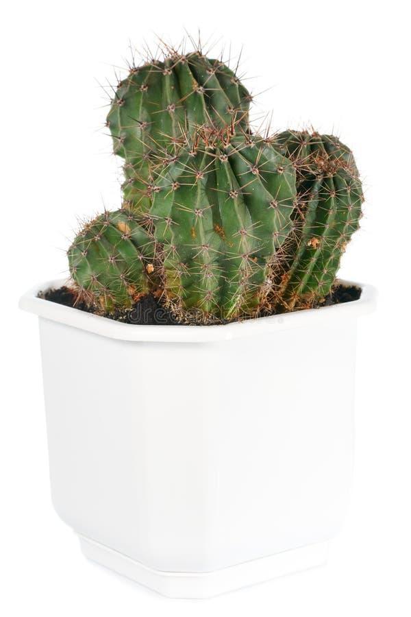 Planta espinhosa do cacto de tambor isolada no branco. fotografia de stock