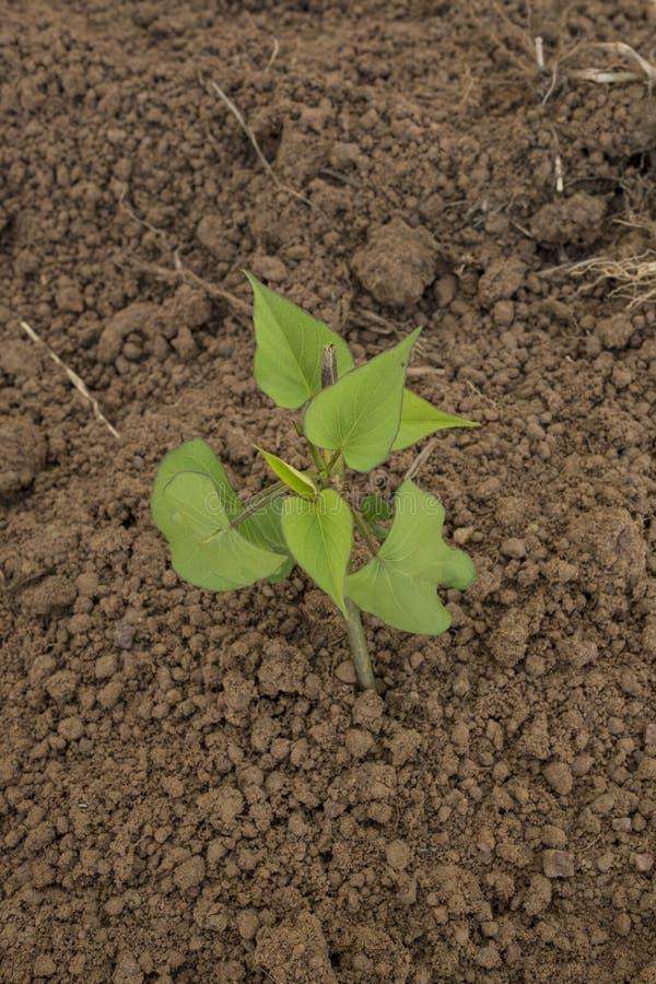 Planta för torr böna arkivfoto