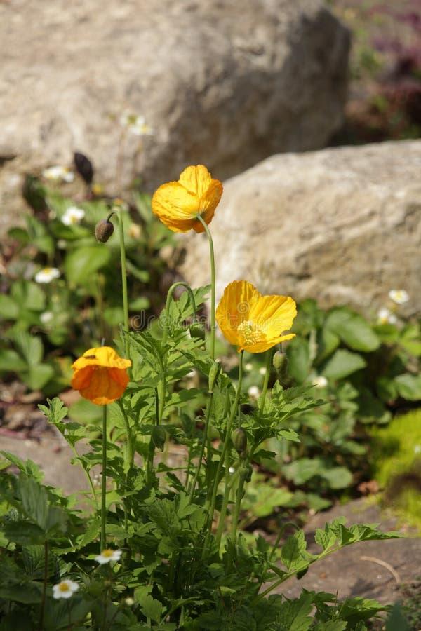 Planta florecida amarilla en jardín de rocalla fotografía de archivo