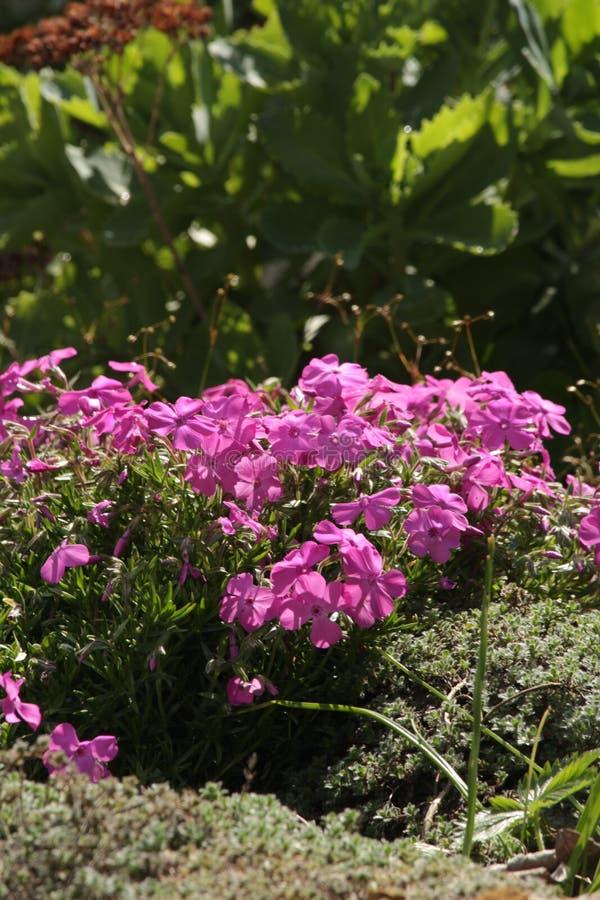Planta florecida rosada que crece en jardín de rocalla imagenes de archivo