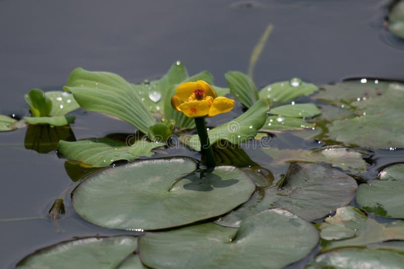 Planta flotante única de la hoja de Taiwán fotografía de archivo libre de regalías
