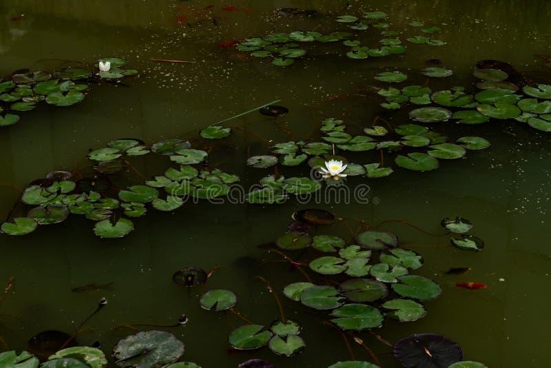 Planta flotante del agua de menor importancia- del lirio-Lemna del agua fotografía de archivo