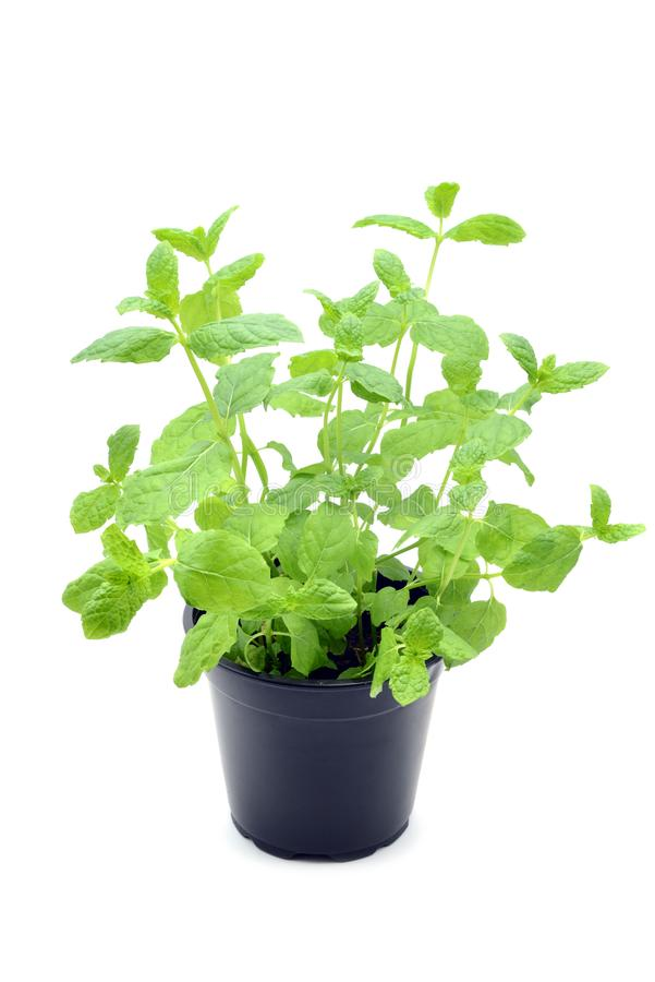 A planta fresca em pasta da hortelã da pimenta sae no backgrou isolado branco imagens de stock royalty free