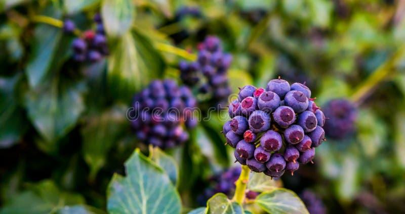 Planta frutificando da hera com as bagas roxas e azuis no close up, jardim botânico, fundo natural do jardim fotos de stock royalty free
