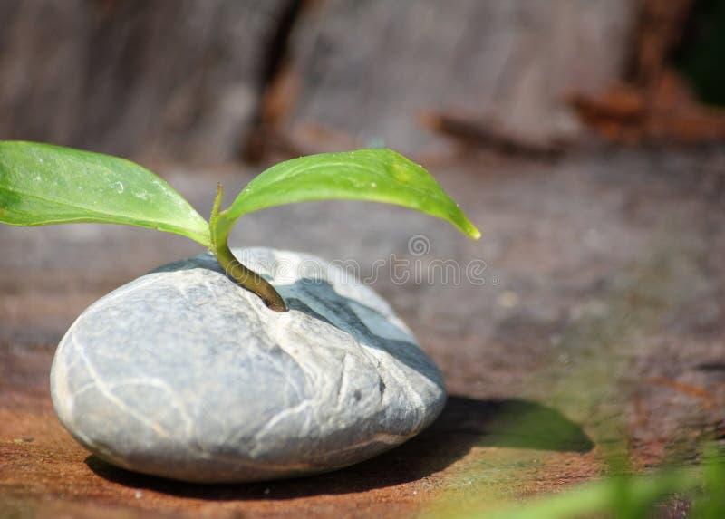 A planta germina na pedra fotografia de stock