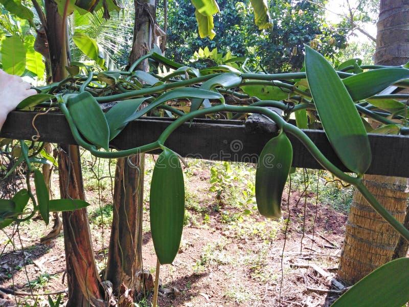 Planta Goa da baunilha, Índia foto de stock royalty free