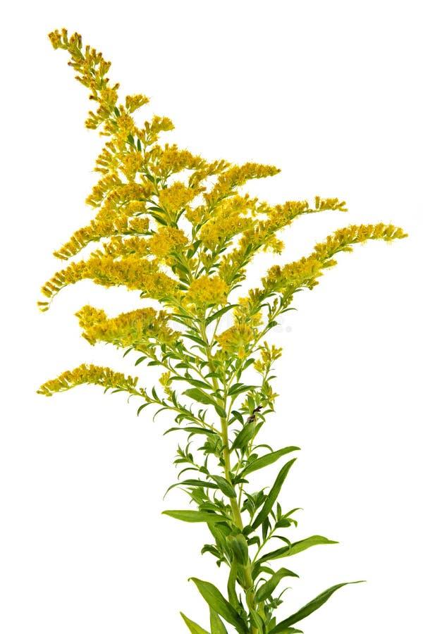 Planta Goldenrod fotografia de stock