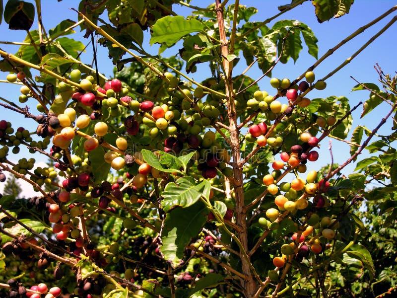 Planta havaiana do café fotografia de stock