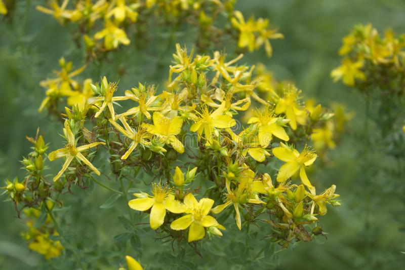 Planta herbaria del hypericum de Tutsan que florece en un campo foto de archivo