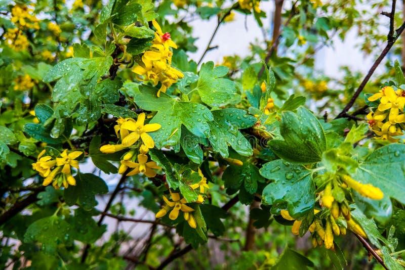 Planta herbaria del hypericum de Tutsan que florece en un campo en verano imagen de archivo