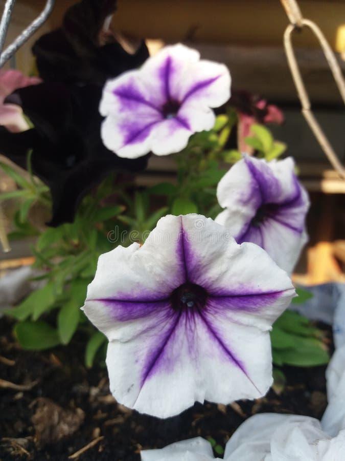 Planta hermosa de la flor blanca con la lila imagen de archivo libre de regalías