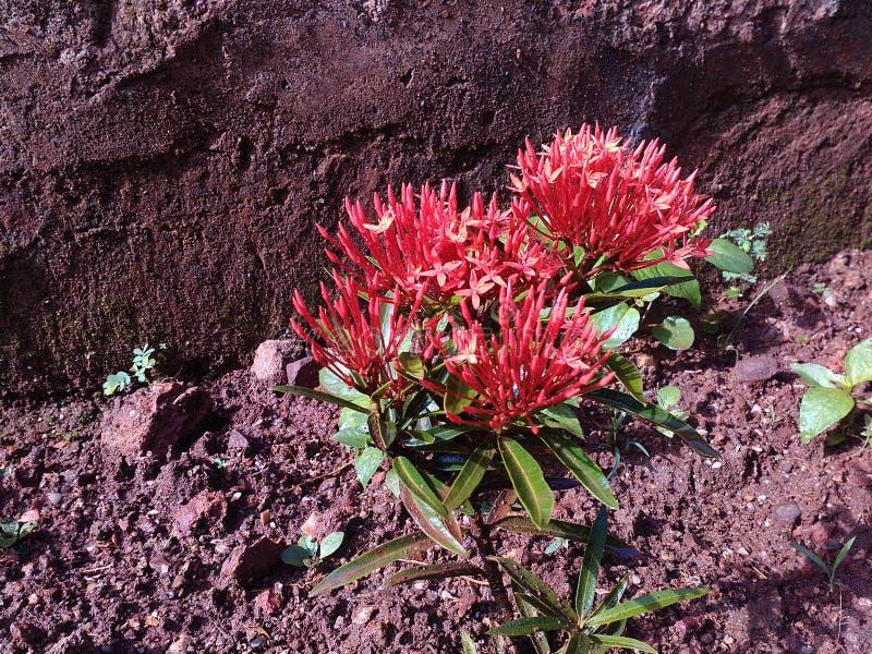 Planta hermosa de la flor del jardín fotografía de archivo libre de regalías