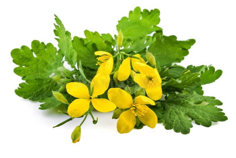 Planta homeopática del Chelidonium o del mayor celandine con las flores fotos de archivo libres de regalías