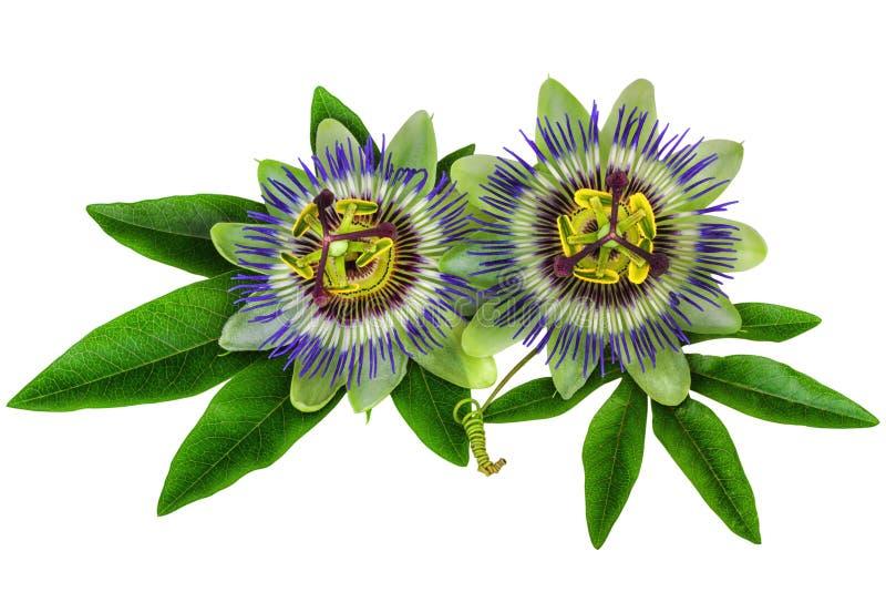 A planta homeopaticamente da flor da paixão do Passiflora isolou o trajeto de grampeamento incluído imagem de stock