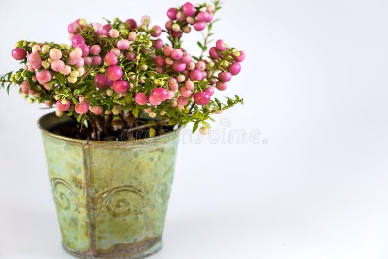 Planta imperecedera, con las bayas rosadas, arreglo en el pote para la Navidad imagenes de archivo