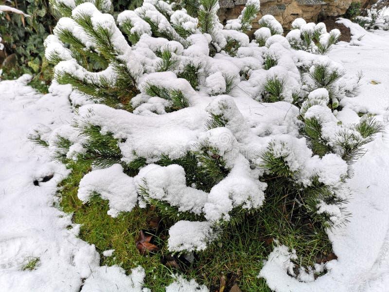 Planta imperecedera de los sempervirens del buxus cubierta por la nieve imagen de archivo libre de regalías