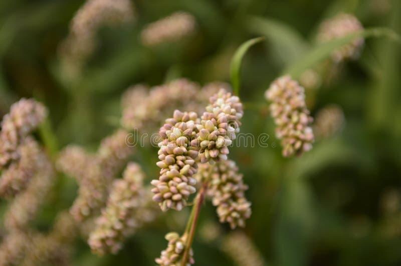 Planta incomum com sementes fotografia de stock