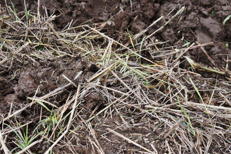 Planta indesejável, palha seca na lama foto de stock